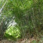 Bambú de crecimiento espontáneo